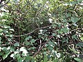 Starr-140909-1692-Hibiscus tiliaceus-thicket-Wailua-Maui (24618936013).jpg