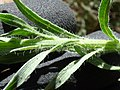 Starr-170617-0646-Conyza bonariensis-hairy leaves stem-Town Sand Island-Midway Atoll (35525779744).jpg