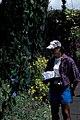 Starr-980529-4171-Strongylodon macrobotrys-flowers with Kim-Enchanting Floral Gardens of Kula-Maui (24146175679).jpg
