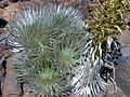 Starr 011009-0019 Argyroxiphium sandwicense subsp. macrocephalum.jpg