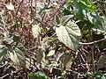 Starr 030530-0014 Hibiscus ovalifolius.jpg