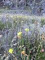 Starr 031001-2117 Oenothera stricta subsp. stricta.jpg
