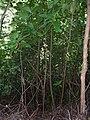 Starr 041113-0666 Cinchona pubescens.jpg