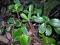 Starr 041211-1382 Fragaria chiloensis subsp. sandwicensis.jpg