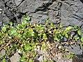 Starr 050223-4344 Trianthema portulacastrum.jpg
