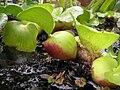 Starr 050415-0014 Eichhornia crassipes.jpg