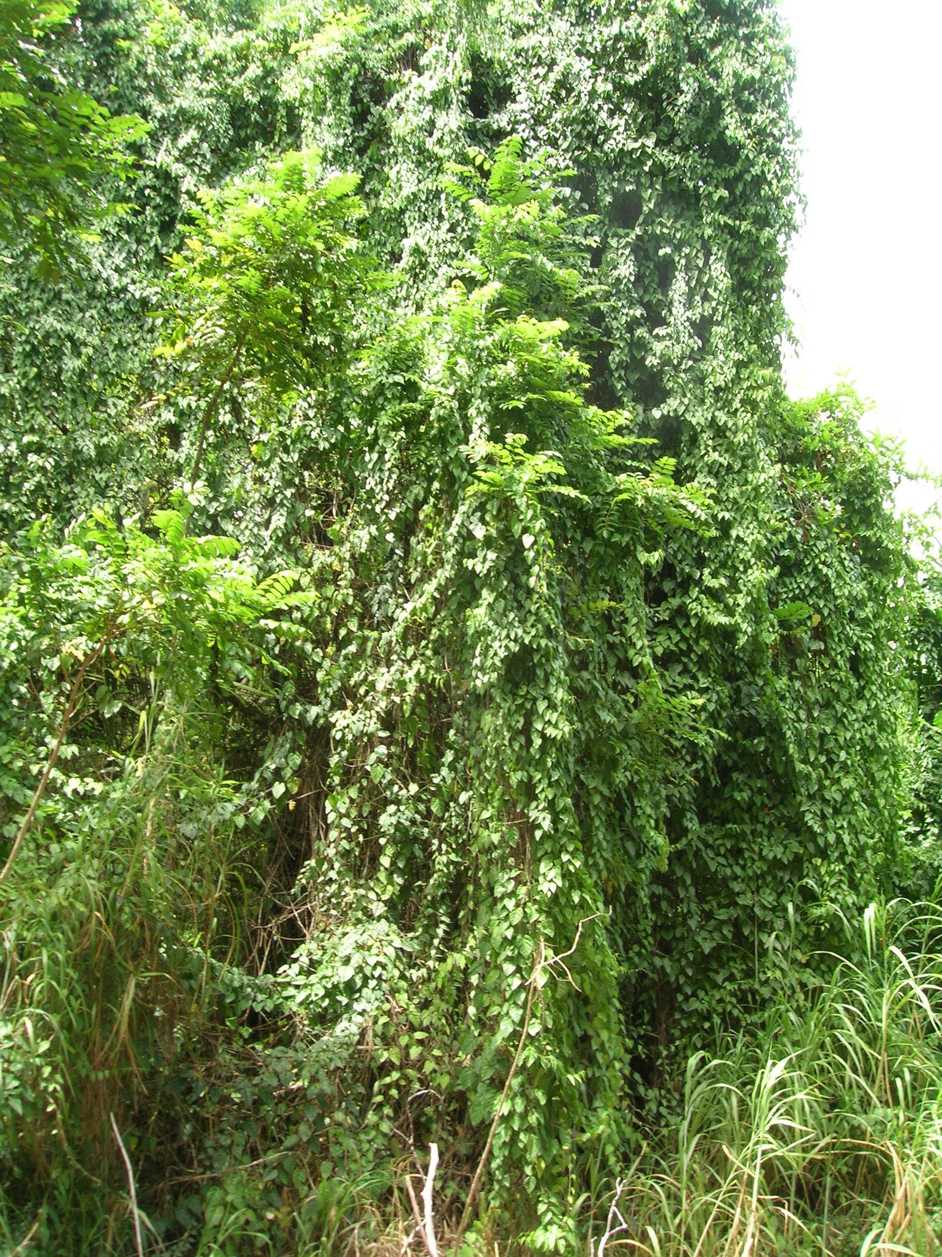 Cissus verticillata - Wikipedia, la enciclopedia libre