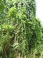 Starr 060810-8542 Cissus verticillata.jpg