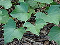 Starr 061106-1424 Ipomoea batatas.jpg