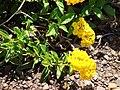 Starr 070221-4766 Lantana montevidensis.jpg