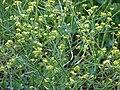 Starr 070302-5039 Brassica nigra.jpg