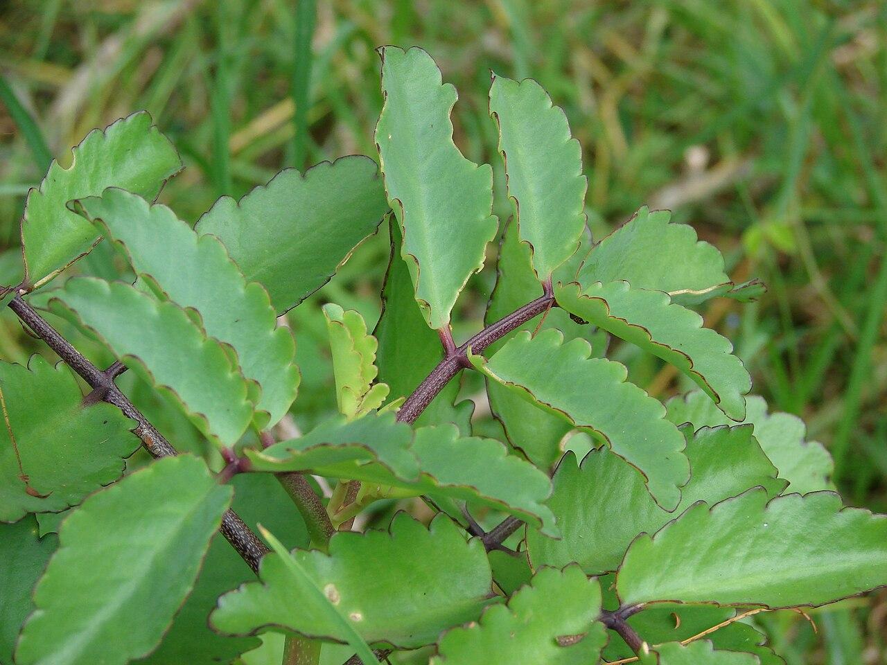 las hojas de kalanchoe pinnata mostró actividad antibacteriana 3 4 Kalanchoe Pinnata