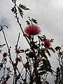 Starr 070308-5456 Calliandra haematocephala.jpg