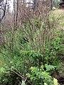 Starr 070908-9109 Rubus hawaiensis.jpg
