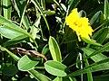 Starr 071024-9995 Coreopsis lanceolata.jpg