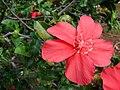 Starr 071121-0027 Hibiscus kokio subsp. kokio.jpg