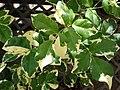 Starr 080117-1632 Pandorea jasminoides.jpg