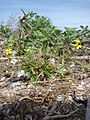 Starr 080605-6485 Brassica nigra.jpg
