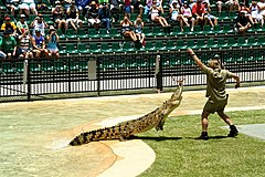Irwin feeding a crocodile at Australia Zoo.