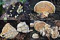 Strange formed Daedalea quercina (Oak Mazegill or Mazegill Fungus, D= Eichenwirrling, F= Dédalée du chêne, NL= Doolhofzwam)(Querus=Oak=Eiche=Chêne=Eik) white spores, causes brownrot, at a treetrunk Park Sonsbeek - panoramio.jpg