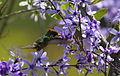 Strange little rooikoppie hummingbird on Petrea volubilis (9606863233).jpg