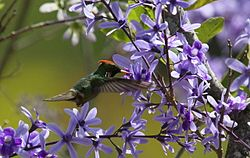 Strange little rooikoppie hummingbird on Petrea volubilis (9606863233).jpg