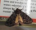 Straw Underwing moth (27995121404).jpg