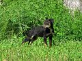 Stray dog Frayser Memphis TN 2013-05-12 005.jpg