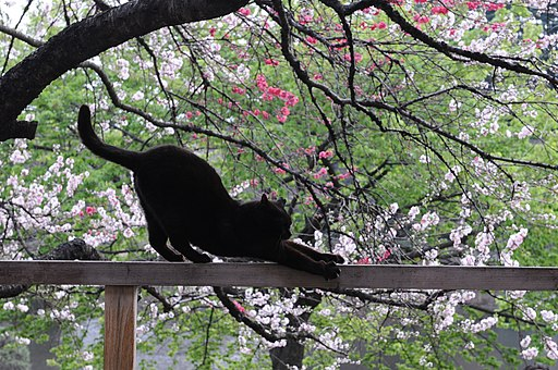 Stretching black cat on a railing and cherry blossom trees-Hisashi-01
