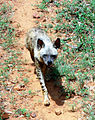 Striped hyena (Hyaena hyaena) at IGZoo Park 01.JPG