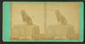 Studio portrait of a dog, from Robert N. Dennis collection of stereoscopic views.png