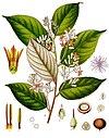 Styrax benzoin - Köhler–s Medizinal-Pflanzen-133.jpg