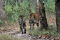 Sub adult tigers.jpg