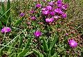 Succulentes fleurs mauves.jpg