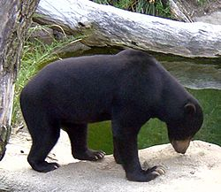 http://upload.wikimedia.org/wikipedia/commons/thumb/1/1f/Sun_Bear.jpg/250px-Sun_Bear.jpg