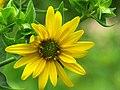 Sunflower (14591237883).jpg