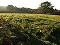 Sunlit field near Pixies' Garden - geograph.org.uk - 996847.jpg