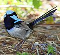 Superb Fairy-wren facefan hunter 1 smaller.jpg