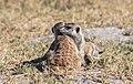 Suricatos (Suricata suricatta), parque nacional Makgadikgadi Pans, Botsuana, 2018-07-30, DD 28.jpg
