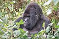 Susa group, mountain gorillas - Flickr - Dave Proffer (11).jpg