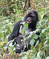 Susa group, mountain gorillas - Flickr - Dave Proffer (12).jpg