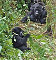 Susa group, mountain gorillas - Flickr - Dave Proffer (3).jpg