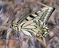 Swallowtail. u-s, Papilio machaon gorganus - Flickr - gailhampshire.jpg
