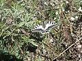 Swallowtail (Papilio machaon) (7580778142).jpg