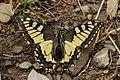 Swallowtail - Papilio machaon (44359718051).jpg