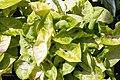 Syngonium podophyllum Golden 1zz.jpg
