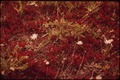 """TYPICAL TUNDRA SCENE. THE WHITE BLOSSOMS ARE """"ALASKA COTTON"""" WHICH BLOOMS IN THE FALL - NARA - 550459.tif"""