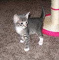 Tabby kitten profile standing facing right.jpg