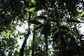 Taman Negara, Malaysia, Primary tropical rainforest.jpg