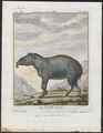Tapirus americanus - 1700-1880 - Print - Iconographia Zoologica - Special Collections University of Amsterdam - UBA01 IZ22000271.tif